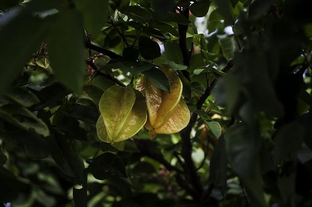 Carambola arbol y fruto